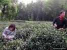 На плантациях еще собирали чай. Самый последний в этом году. Мы не упустили случая. Это всегда особенно - собирать чай.