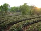 Готовят Лун Цзин только весной, все остальное время чайные кусты отдыхают, набираются силы до следующего сезона.