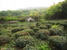 Формовка - чайные кусты подрезают, и, спустя несколько месяцев, с наступлением сезона Цинь Мин, они будут вновь готовы дарить свои листья для чудесного чая!