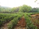 Так выглядят плантации чая Си Ху Лун Цзин.