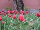 Парк в центре Пекина. Тюльпаны!