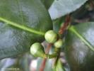 Плоды чайного растения.