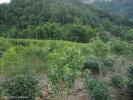 Коричные деревья сажают вперемешку с чайными кустами - их аромат витает вокруг чайных растений.