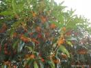 Цветущие Гуй Хуа.