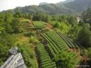 Вид на чайные плантации.
