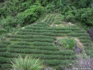 Небольшая чайная плантация