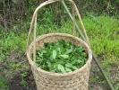 30 кг зеленого чая :)