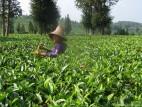 Чайная плантация, сбор чая