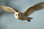 Barn Owl flying in winter sunlight  Noton Suffolk Tyto alba